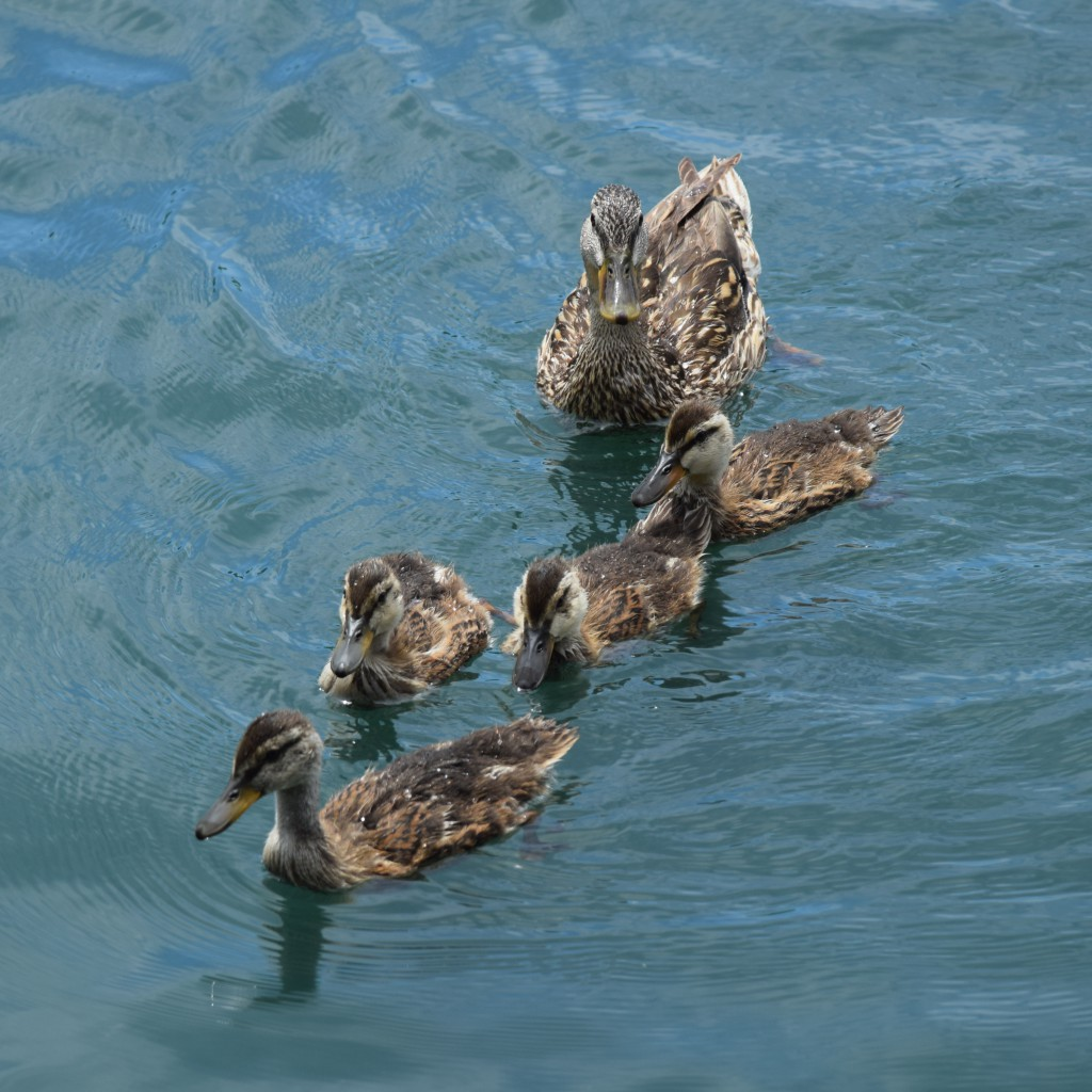 Guiding Ducklings