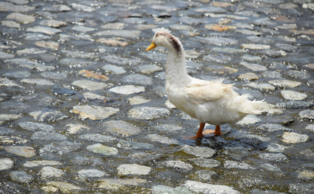 Cream-Colored Duck